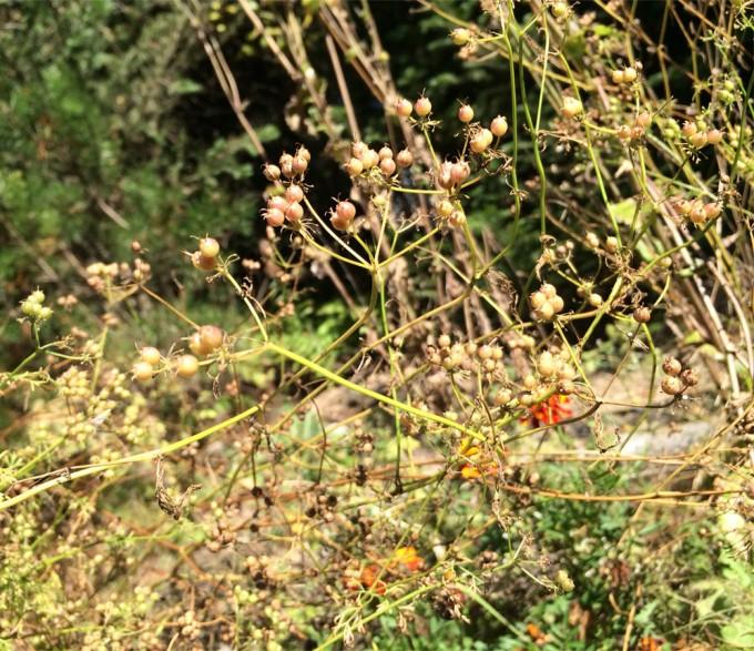 Coriander-seeds