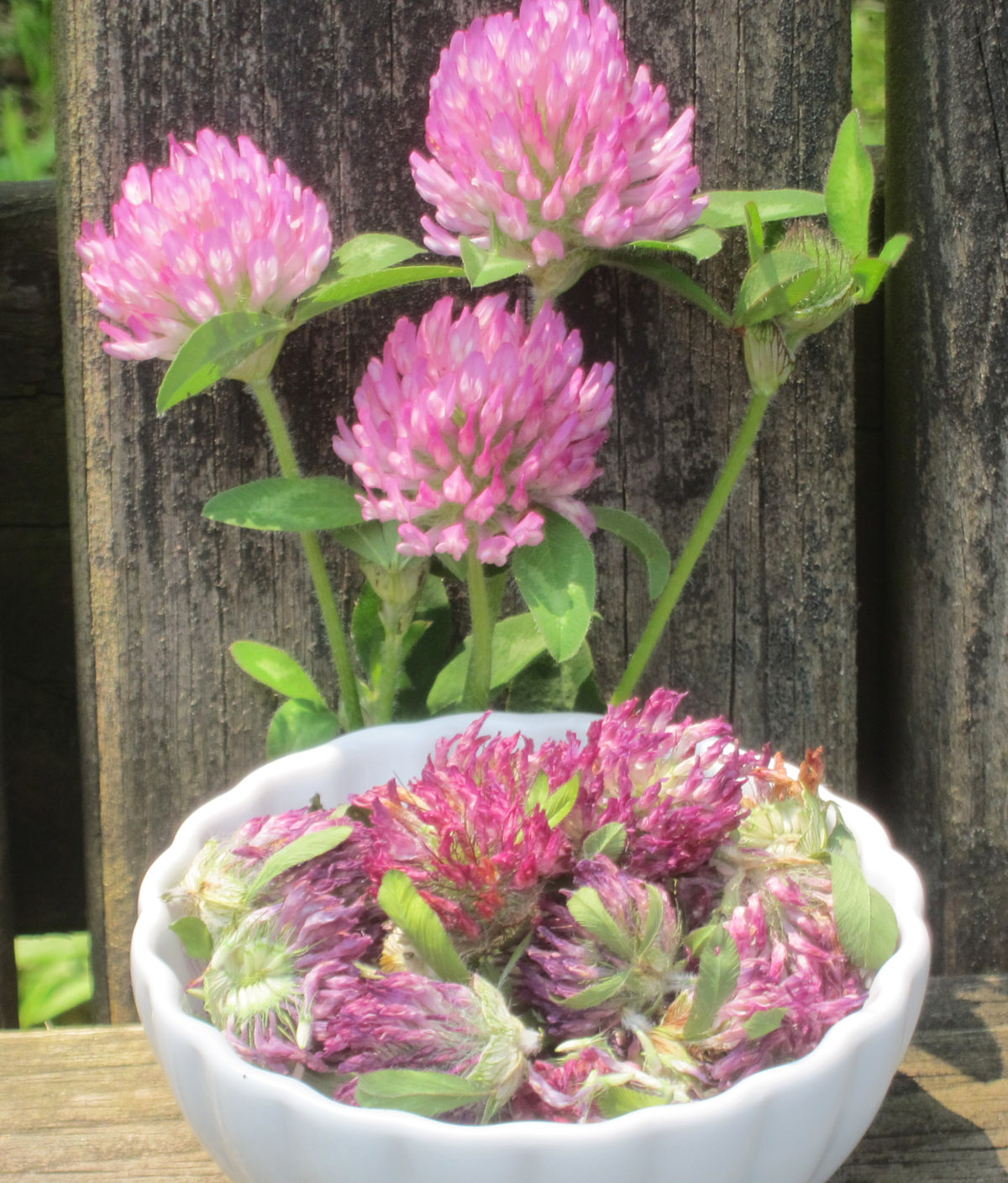 Drying herbs in your car red clover